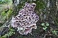 Chondrostereum purpureum 051120A.jpg