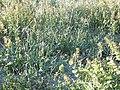 Chorispora tenella (5826631375).jpg
