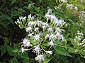Chromolaena odorata - വേനപ്പച്ച - 004.JPG