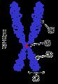 Chromosom.png