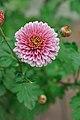 Chrysanthemum - Science City - Kolkata 2012-01-11 8029.JPG