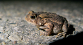 Chubby Toadlet (6010976984).png