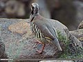 Chukar Partridge (Alectoris chukar) (15868069286).jpg