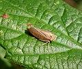 Cicadellidae, Macropsis fuscula (24184657238).jpg