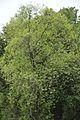 Cinnamomum camphora - Santiniketan 2014-06-29 5397.JPG