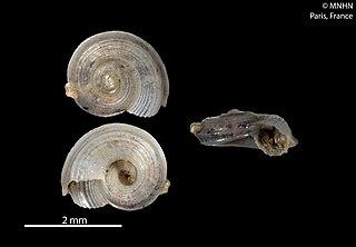 <i>Circulus</i> (gastropod) Genus of gastropods