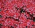 City of London Cemetery flowering shrub 3.jpg