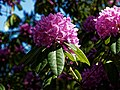 City of London Cemetery pink rhododendron 2.jpg