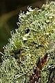 Cladonia.coniocraea.2.jpg