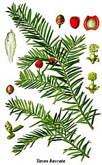 Tis obyčajný - celá rastlina je jedovatá (aj semená) okrem dužiny plodov