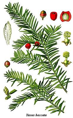 Europäische Eibe (Taxus baccata), Illustration