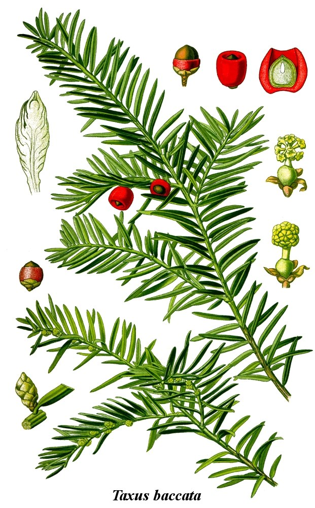 Cleaned-Illustration Taxus baccata