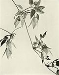 Clematis occidentalis var. occidentalis WFNY-f017.jpg