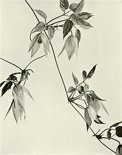 Clematis occidentalis var. occidentalis WFNY-f017.jpg