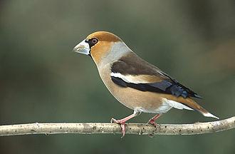Finch - Image: Coccothraustes coccothraustes 1 (Marek Szczepanek)