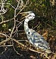 Cocoi Heron (Ardea cocoi) eating a Sailfin Catfish (Pterygoplichthys sp.) (31660873621).jpg