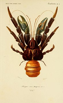 birgus latro wikipedia