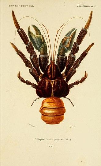 Coconut crab - Image: Coconut Crab Dictionnaire D Histoire Naturelle 1849