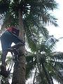Coconut tree climbing DSCN0236.jpg