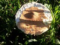 Cogumelo comido por formigas.jpg