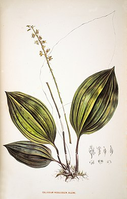 Collabium nebulosum -Choix des plantes rares ou nouvelles - plate 26 (1864).jpg