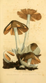 Coloured Figures of English Fungi or Mushrooms - t. 1.png
