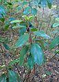 Comarostaphylis diversifolia kz1.jpg