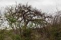 Commiphora mollis-2397 - Flickr - Ragnhild & Neil Crawford.jpg