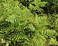 Common Bracken (Pteridium aquilinum) - Oslo, Norway 2020-08-04.jpg