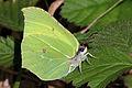 Common Brimstone butterfly (Gonepteryx rhamni).JPG