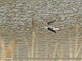 Common Greenshank (Tringa nebularia) (38741851915).jpg