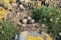 Common Gulls' Nest - geograph.org.uk - 473099.jpg