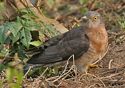 Common Hawk Cuckoo (Hierococcyx varius) on ground at Narendrapur W IMG 4095.jpg