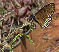 Common Indian Crow (Euploea core) on Indian Turnsole (Heliotropium indicum) W2 IMG 9747.jpg