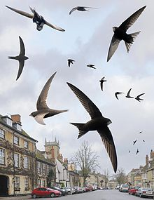 Common Swift from the Crossley ID Guide Britain and Ireland.jpg