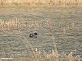Common Teal (Anas crecca) (34159243991).jpg