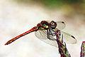 Common darter dragonfly (Sympetrum striolatum) immature male.jpg