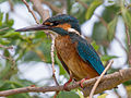 Common kingfisher on a tree.jpg
