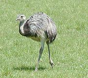 Common rhea.jpg