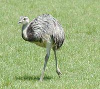 Common rhea