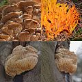 Composition of nice mushrooms Schaarsbergen at 7 Januari 2014. The 2 shots downside are of Hericium erinaceus (gewone Pruikzwam) and are rather rare in Holland. Upside left is a Spongipellis pachyodon. Rare in Holland - panoramio.jpg
