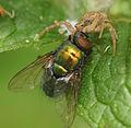 ComputerHotline - Thomisidae sp. (by) (2).jpg