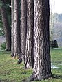 Conifer tree trunks at Stack Point - geograph.org.uk - 643934.jpg