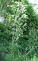 Conium maculatum plant (02).jpg