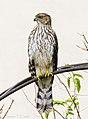 Cooper's Hawk (50617789293).jpg