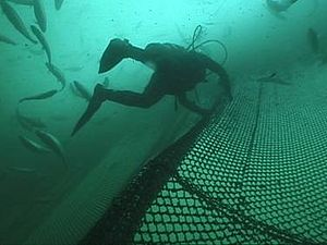 Antimicrobials in aquaculture - A copper alloy pen that has been deployed on a fish farm at depth of 14 feet for one year shows no signs of biofouling.