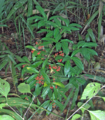 Coral-Ardisia (5616660767).png