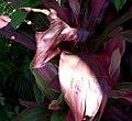 Cordyline fruticosa 0zz.jpg