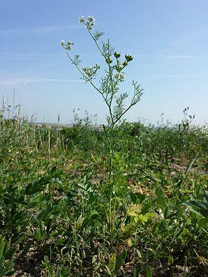Echter Koriander (Coriandrum sativum)