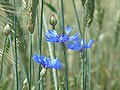 Cornflower - blue flowers.jpg